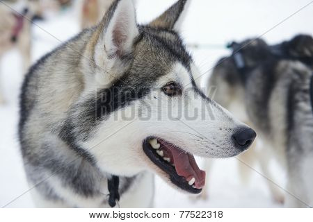 Sled dog eager to run in Kakslauttanen, Lapland, Finland.