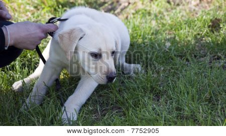 a puppy with pedigree it's a withe labrador poster