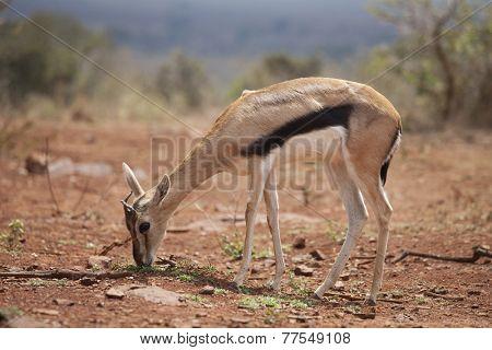 baby thompsons gazelle feeding in Kenya