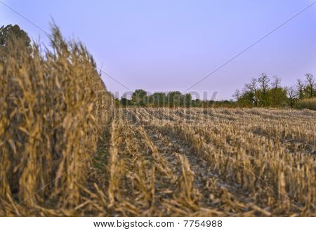 Partially Cropped Wheat Field