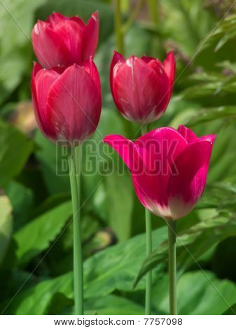 Flowers  Tulips  Red   Petals