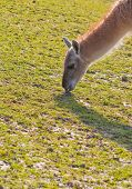 Llama with long neck grazing on field poster