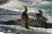 Cormorants on the river in winter - Double-crested cormorant poster