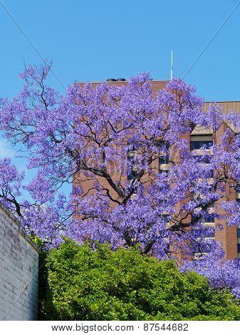 An Australian lilac Jacarandra tree