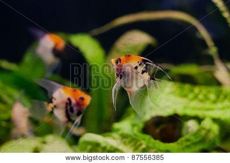 Aquarium Fishes Scalare