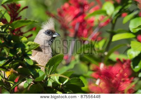 Speckled Mousebird (colius Striatus) Peeking Out From The Leaves And Flowers