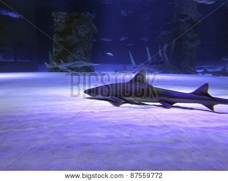 Small Shark In The Deep Blue Water