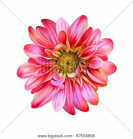 Bright Mona Lisa flower, Spring flower.Isolated on white background