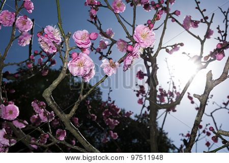 Chinese plum flowers and sun