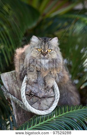 Adorably Cute Tabby Persian Ragdoll Cat Sitting Relaxed On The Tree In Island Ko Wai, Thailand