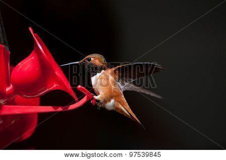 Male Rufous Hummingbird Selasphorus Rufus