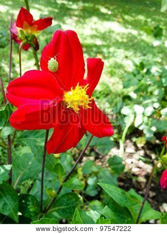 Red Dahlia Pinnata and a bug