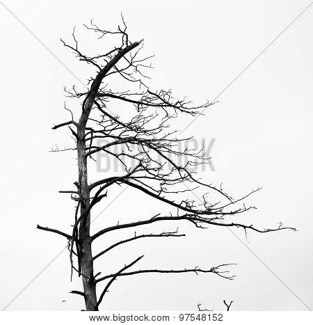 Dead Pine Trees Against Sky Background. Juodkrante, Lithuania