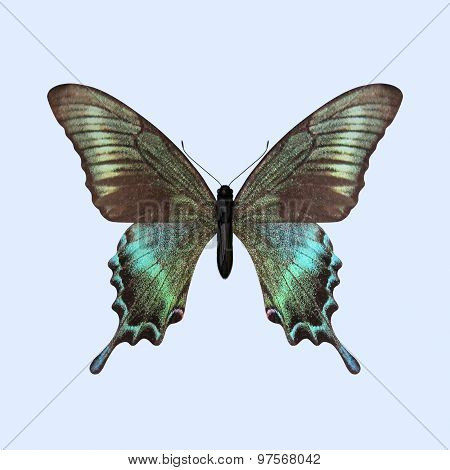Swallowtail Butterfly - Papilio Maackii