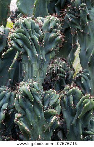 Cactus Cactaceae, Cereus Hildmannianus 'monstrose'