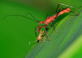 Assassin-Bug bei Mittagessen - Peru, Mnau park