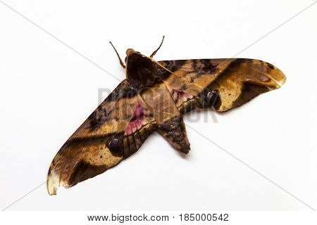 Privet hawk moth top view studio photo. Adult Sphingidae butterfly studio shot. Tropical moth closeup on white background. Hawk moth of South Asia for science or education illustration. Exotic animal