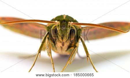 Green striped hawk moth with open wings macro photo. Adult Sphingidae butterfly studio shot. Tropical moth closeup on white background. Hawk moth front view for science or education illustration