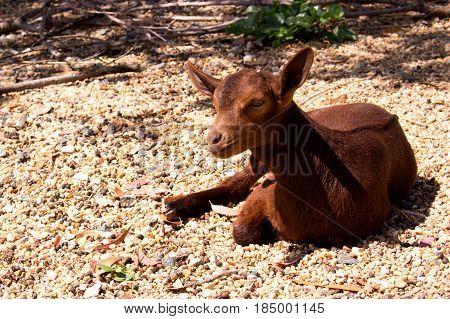 Goat. Beautiful little brown goat. Farm animal.