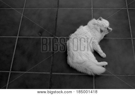 Cat. Beautiful white domestic animal. Turkish Angora.