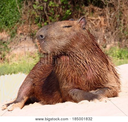 Posing capybara on island among rivers of the Pantanel, Brazil