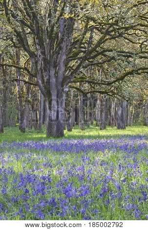Blue Camas wildflowers blooming in the meadow among the oak trees in vertical position