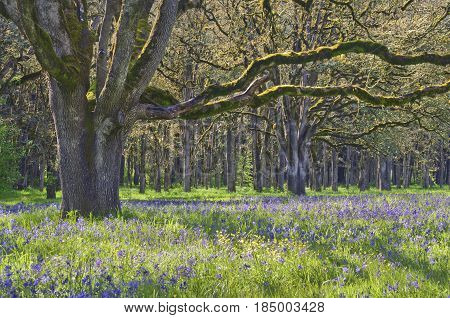 Ancient Oak tree in soft sunlight with meadow of blue camas wildflowers