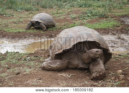 2 giant land tortoises with front turtle in focus