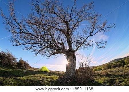leafless oak tree against blue sky with curve white vapour trail in Nebrodi Park, Sicily