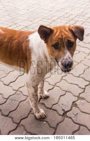 Thai stray dog , animal and pet