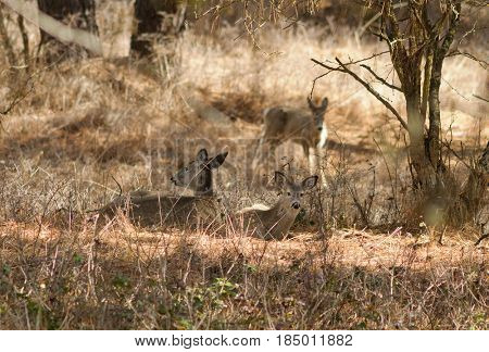Whitetail deer in the forest resting