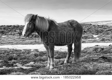 Black and White Beauty of natural Icelandic Horses Southern Iceland