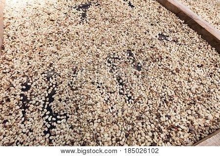 Coffee beans left to dry in coffee plantation Laos