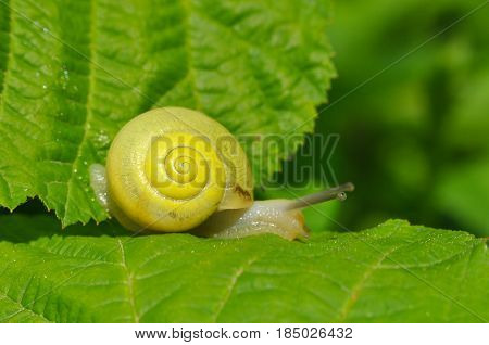 Little yellow snail crawling on green leaf in garden. Snail in nature in grass next to a river