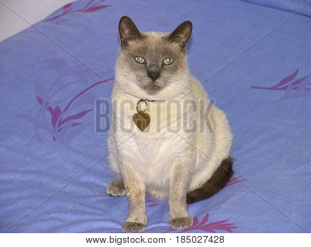 Seal Point Siamese Cat, This Breed Originates From The East02