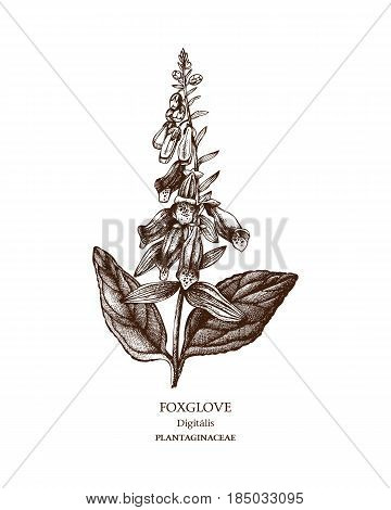Hand drawn sketch of poisonous plant - Digitalis purpurea.