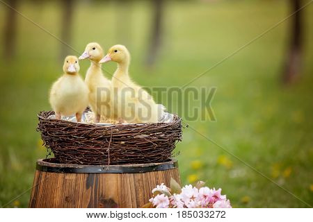 Three Little Ducklings In A Spring Park In A Nest