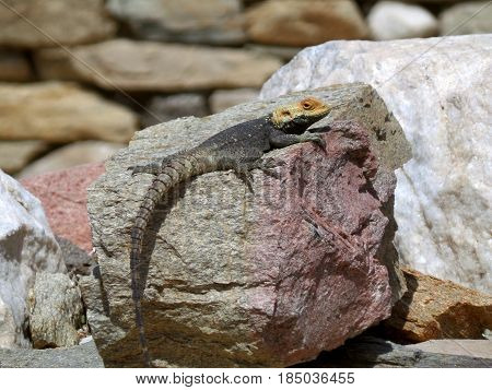 Yellow Headed Lizard Relaxing on the Ruin of Archaeological Site of Delos Island, Greece
