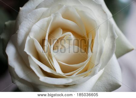 Background Of White Roses In Close-up.floral Background Of White Roses In Macro Scale.close Up View