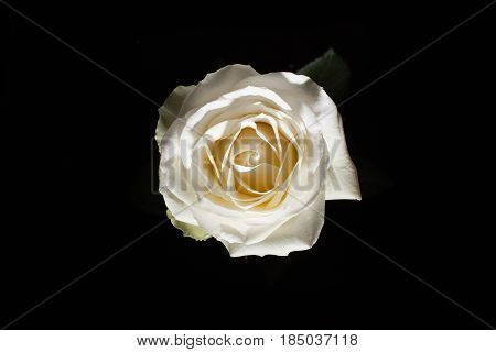 Bird Eye View Of White Rose On Blatsk. Rose In Dark. Element Of Design. Pink Rose On Black Batskgrou