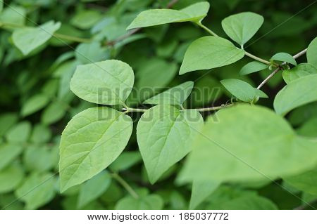 Large green leaves during early spring vegetation in the spring season are suitable as a background