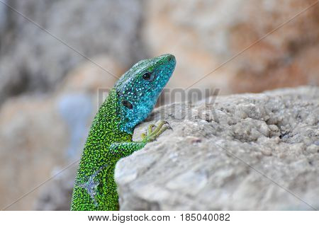 Green european lizard in nature. Green Lizard (Lacerta viridis) in natural habitat