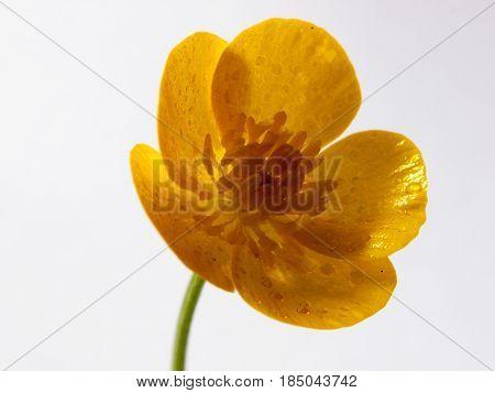 Yellow Buttercup Flower Head Stunning On White Background Fresh Studio
