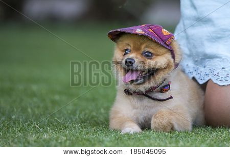 Pomeranian Wearing A Hat
