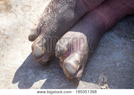 The foot of a small hippopotamus in nature
