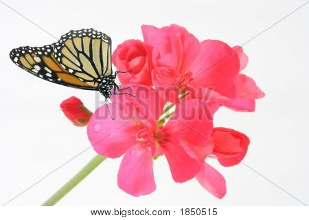 Geranium And Butterfly