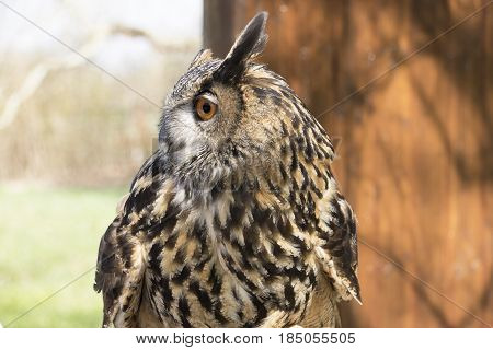 Long-eared Owl photographed close up. The long-eared owl is a species of owl which breeds in Europe Asia and North America. This species is a part of the larger grouping of owls known as typical owls family Strigidae which contains most species of owl. Wi