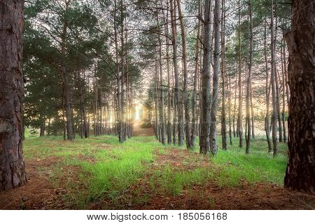 dawn in the trees of the forest / bright spring photo of the coniferous forest