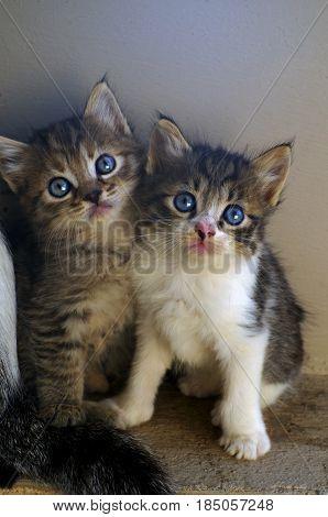 Little grey cats standing near a wall.