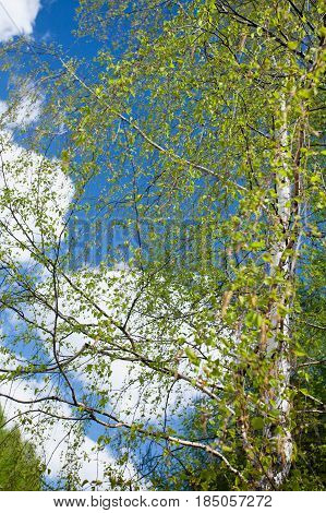 Birch branches with young leaves on wind. Selective focus. Natural background